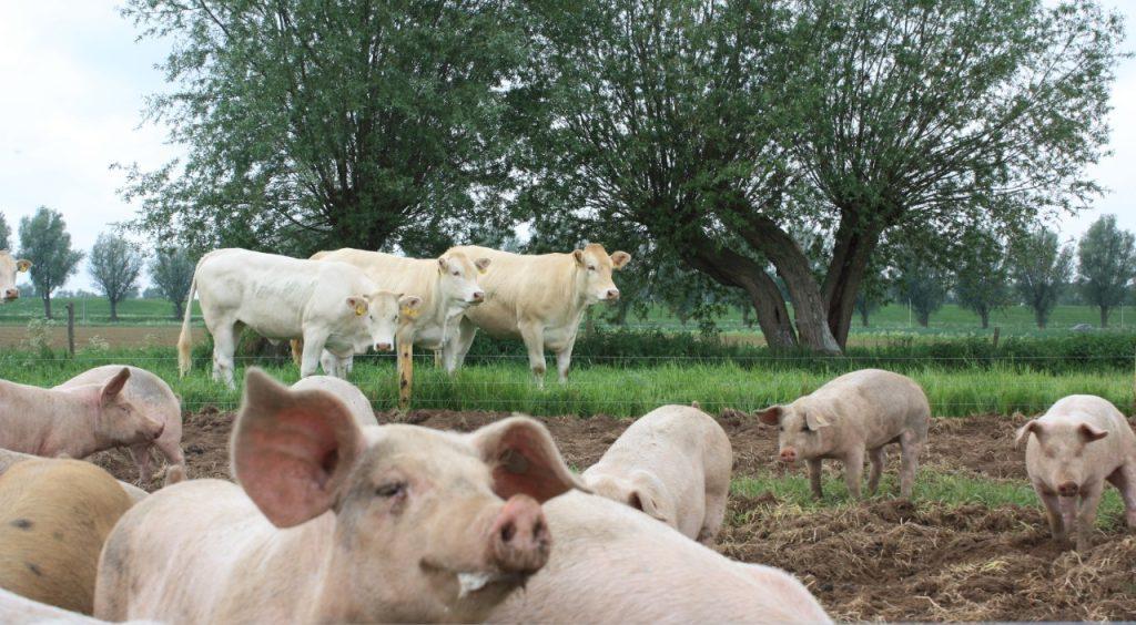 Eerlijk vlees | onze vleesvarkens en koeien lopen buiten bij De Dykhoeve