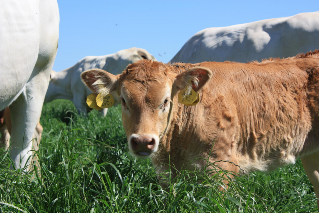 Buitenvarkens, runderen met een goed leven | De Dykhoeve